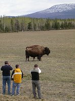 Tourists photographing bison at Whitehorse, Yukon
